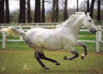 Szerintetek az lehet, hogy ez a ló egy lipicai?