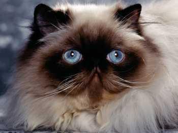 Melyik a legaranyosabb macskafajta?